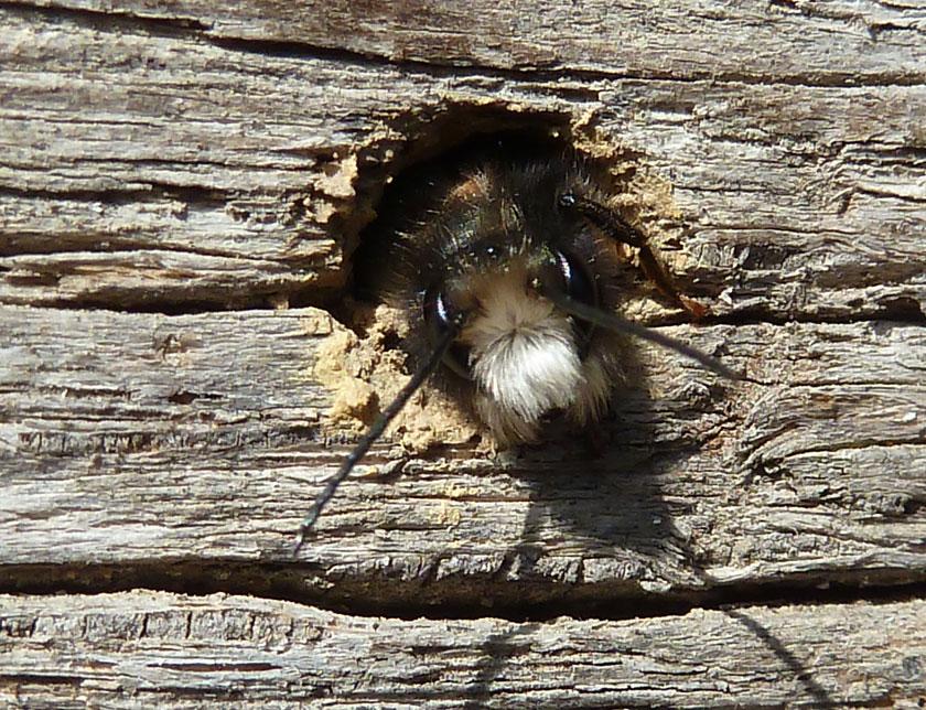 Biene an Holz